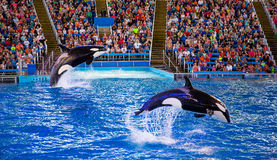 killer whales performing Stock Image