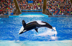 Killer whales performing Stock Photo