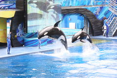 Killer Whales. Performing at Seaworld stock photos