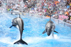 Killer Whales. Performing at Seaworld Royalty Free Stock Photos