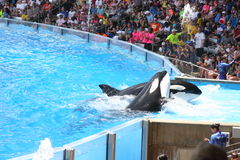 Killer Whales. Performing at Seaworld Stock Photo