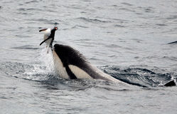 Killer Whales Playing with Penguin Royalty Free Stock Photo