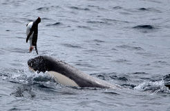 Killer Whales Playing with Penguin. Killer Whales Plays with Penguin before eating it Royalty Free Stock Images