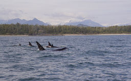 Killer Whales. A pod of killer whales near Tofino, British Columbia royalty free stock images