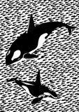 Killer whales in the sea Royalty Free Stock Photo