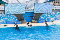 Killer Whales at SeaWorld Stock Photography