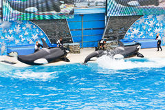 Killer Whales at SeaWorld Royalty Free Stock Images