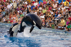 Killer whales show in Sea World, San Diego, CA Stock Images