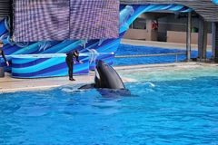Killer Whales show in Sea World royalty free stock photo