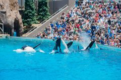 Killer whales shows in the famous SeaWorld. San Diego, JUN 27: Killer whales shows in the famous SeaWorld on JUN 27, 2018 at San Diego, California royalty free stock photo