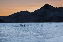 Killer whales in the sunset Royalty Free Stock Photo