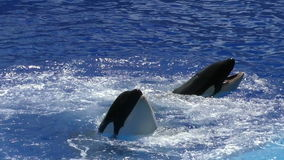 Killer whales. Two killer whales in blue water slow motion stock video footage