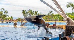 Killerwal-akrobatischer Sprung Lizenzfreies Stockfoto