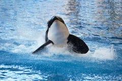 Killerwal, der auf dem Wasser spritzt Stockfotos