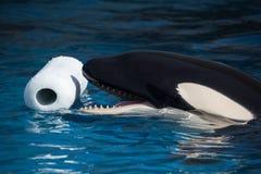 Killerwal, der mit Spielzeug spielt Stockbild
