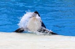 Killerwal, der vom Wasser herausspringt (Orcinusschwertwal) Stockbilder