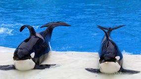 Killerwal, der vom Wasser herausspringt (Orcinusschwertwal) Lizenzfreies Stockfoto