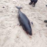 Killerwal, der vom Wasser herausspringt (Orcinusschwertwal) Stockbild