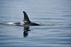 Killerwal mit enormen Rückenflossen in Vancouver Island Stockbild