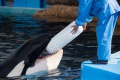 Killerwal mit Trainer und Spielzeug in Japan Stockfotografie