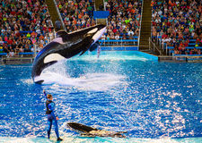 Killerwal SeaWorld San Antonio Stockbild