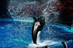 Killerwal während einer Rede am Aquarium in Moskau lizenzfreie stockfotografie