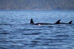 Killerwale (Schwertwale) Stockfoto