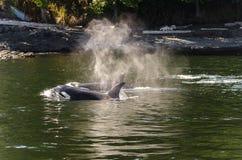 Killerwale in Vancouver Stockfotografie