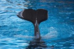 Killerwalflosse, die auf dem Wasser spritzt Lizenzfreies Stockfoto