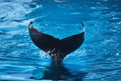 Killerwalflosse, die auf dem Wasser spritzt Stockfotos