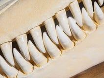 Killerwalschädel Stockbilder