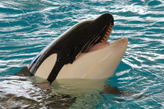 Killerwhale de sourire Photo stock