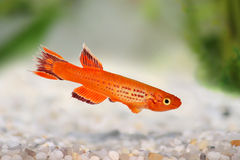 Killi Aphyosemion austral Hjersseni gold Aquarium fish royalty free stock image