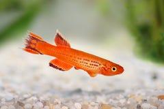Killi Aphyosemion austral Hjersseni gold Aquarium fish. In water Royalty Free Stock Image