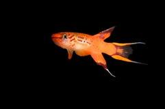 Killifish de Lyretail, australe de Aphyosemion Fotografía de archivo libre de regalías