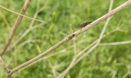 Killing komarnica na suchych kijach przy łąką obraz royalty free