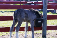 Kilo finds a bucket. Gypsy Vanner foal tries his moms breakfast Royalty Free Stock Photo