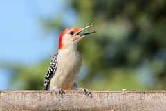 Kilroy the Woodpecker Stock Images