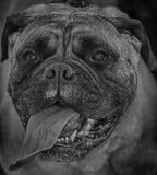 Kim. Is a bullmastiff breed Stock Photo