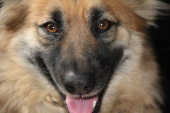 KIM German Shepherd Royaltyfri Bild
