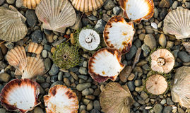 Kina And Clam shells. Stock Images