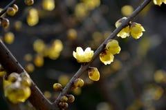 Kina mycket härlig plommon Fotografering för Bildbyråer