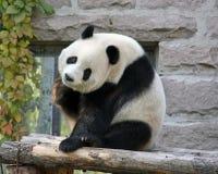 Kina Panda på Pekingzoo Arkivfoton