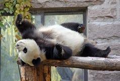 Kina Panda på Pekingzoo Fotografering för Bildbyråer