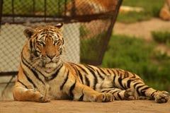 Kina parkerar den nordostliga tigern i den Harbin tigern, Kina Royaltyfri Fotografi