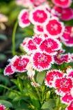 Kina rosa färger, chinensis L. blomma för Dianthus royaltyfri foto