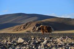 Kina Tibet Yak som betar på lagret av sjön Teri Tashi Namtso i sommar royaltyfria bilder