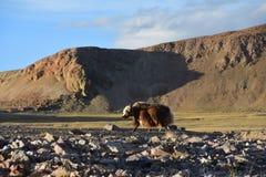 Kina Tibet Yak som betar på lagret av sjön Teri Tashi Namtso i sommar royaltyfri foto