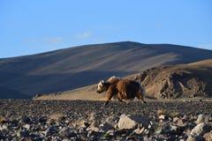 Kina Tibet Yak som betar på lagret av sjön Teri Tashi Namtso i sommar royaltyfri bild