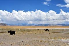 Kina Tibet Yaks betar på den tibetana platån i Trans.-Himalayas nära sjön Teri Tashi Nam Co i Juni royaltyfria bilder